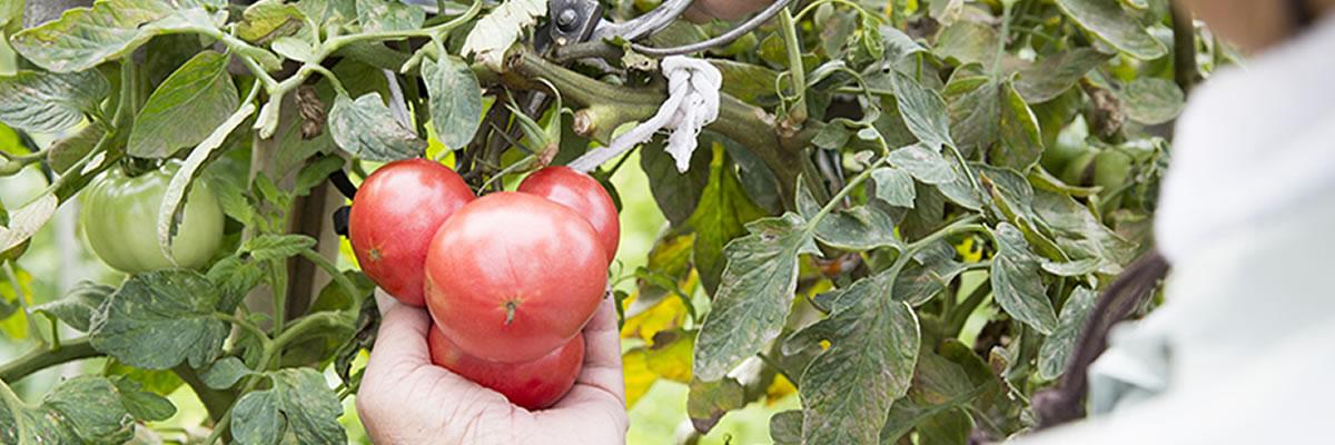 農園トマト収穫